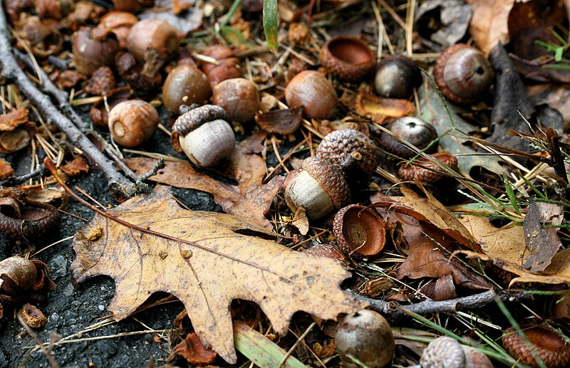 File:Acorns falling onto the ground.jpg