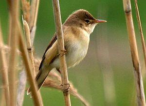 Eurasian reed warbler