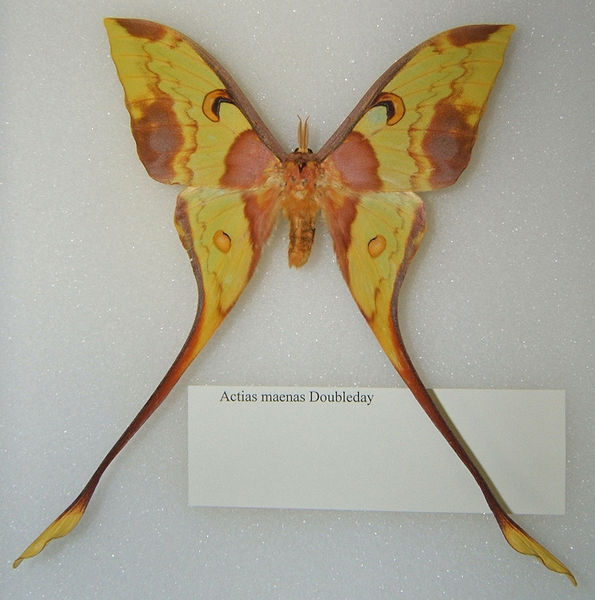 File:Actias maenas adult male sjh.jpg