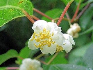 <i>Actinidia polygama</i> Species of plant