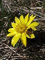 Adonis vernalis sl12.jpg