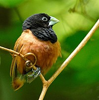Adult Black-headed Munia