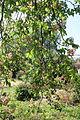Aesculus × carnea 1331.JPG