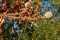 Aesculus californica-30.jpg