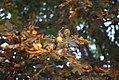 Aesculus hippocastanum - Divlji kesten (2).jpg