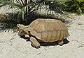 African Spurred Tortoise (Centrochelys sulcata) male (9183959877).jpg