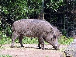 African Warthog - Phacochoerus aethiopicus.jpg