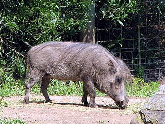 Phacochoerus - Image: African Warthog Phacochoerus aethiopicus