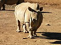 African White Rhino - panoramio.jpg