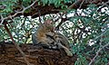 African Wild Cat (Felis lybica) (6559754405).jpg