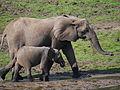 African elephant, Dzanga Sangha, Central African Republic (18322370163).jpg