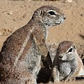 African ground squirrels, just the cutest little things (38727080232).jpg