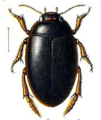 Agabus (beetle) - A. uliginosus