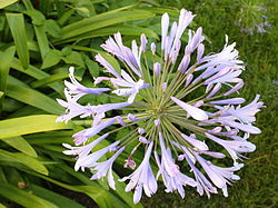 Agapanthus flower head with leaves.jpg