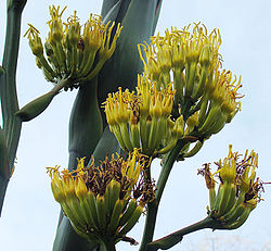 Agave atrovirens, flower of the Maguey del Montana (9170373139).jpg