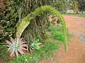 Agave attenuata at cataby.jpg