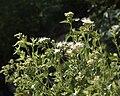 Ageratina herbacea habitus.jpg