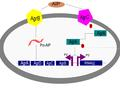 Agr Operon Structure.pdf