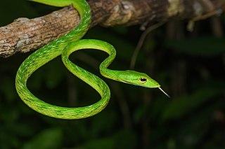 <i>Ahaetulla mycterizans</i> species of reptile