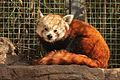Ailurus fulgens at the Denver Zoo-2012 03 12 0732.jpg
