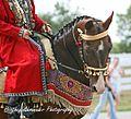 Akhal TEke Stallion - Goklen (2848983839).jpg
