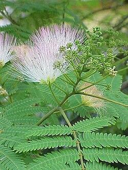 Silk Tree (Albizia julibrissin) foliage and blossoms