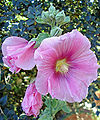 Alcea rosea threeflowers-sunlight.jpg