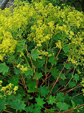 Description de l'image Alchemilla xanthochlora 001.JPG.