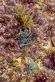 Algas (Dictyota dichotoma), isla de Mouro, Santander, España, 2019-08-14, DD 26.jpg