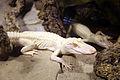 Alligator mississippiensis albinos.jpg