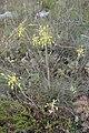 Allium carinatum, Amaryllidaceae 01.jpg