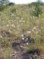 Allium cernuum (3286993765).jpg