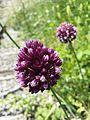 Allium rotundum sl33.jpg