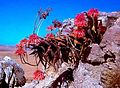 Aloe perfoliata in flower- Western Cape South Africa 3.jpg