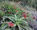 Aloe sp. Ribaue 8 (5974669740).jpg