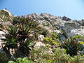 Aloe succotrina growing on cliff face - Table mountain 1.JPG