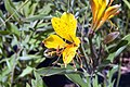 Alstroemeria Glory of the Andes 0zz.jpg