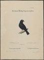 Amadina chalybeata - 1700-1880 - Print - Iconographia Zoologica - Special Collections University of Amsterdam - UBA01 IZ15900205.tif
