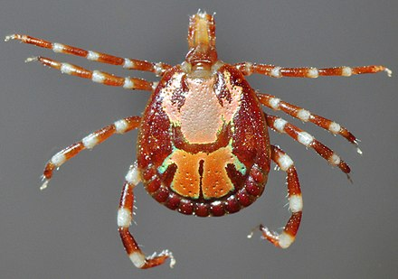In the typical male hard tick, the conscutum covers practically the whole back Amblyomma male dorsal.jpg