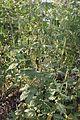 Ambrosia trifida in Korea 01.JPG