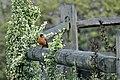 American Robin, New Garden, PA (4844695471).jpg