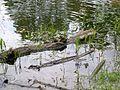 American Toads (Bufo americanus) - Flickr - Jay Sturner (6).jpg