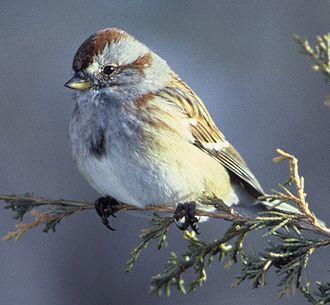 American sparrow - American tree sparrow (Spizelloides arborea)