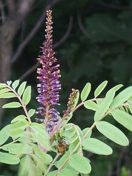 Amorpha fruticosa 05.JPG