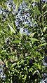 Amsonia orientalis Decne. (Apocynaceae)-2F.jpg