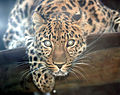 Amur leopard by Keven Law.jpg