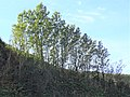 An Aspen clone, Balcreuchan Port, South Ayrshire.jpg