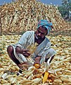 An Indian farmer harvesting corn.jpg