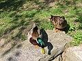 Anas-platyrhynchos-mallard-couple-0a.jpg