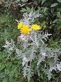 Andryala pinnatifida kz1.jpg